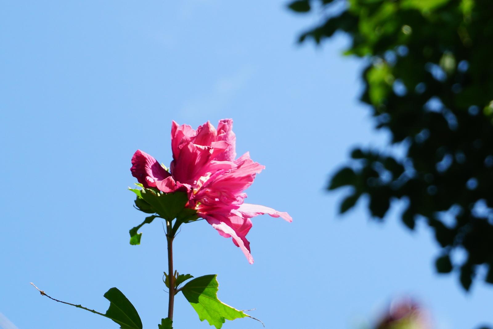 Pale rose aginst blue sky Alton August 19 2017 Anura Guruge Sony a6500