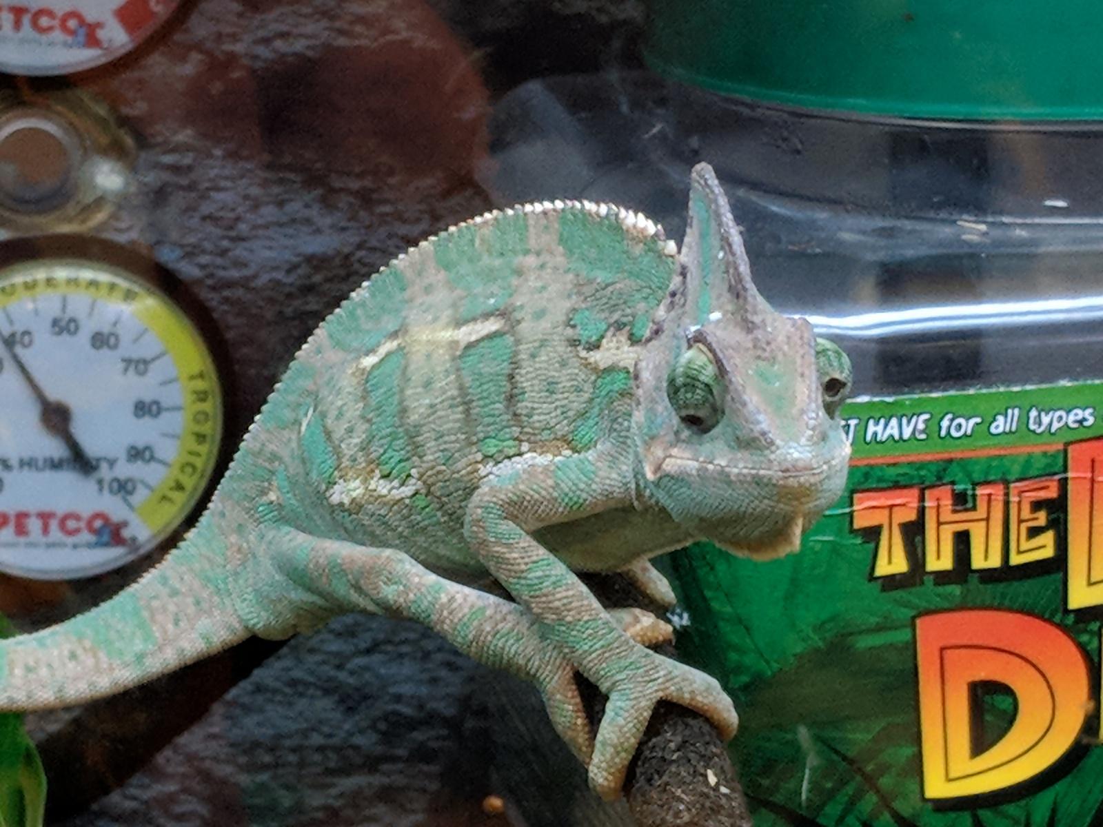 chameleon petco Anura Guruge Google Pixel 2